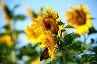 20150915_Sunflowers 0002